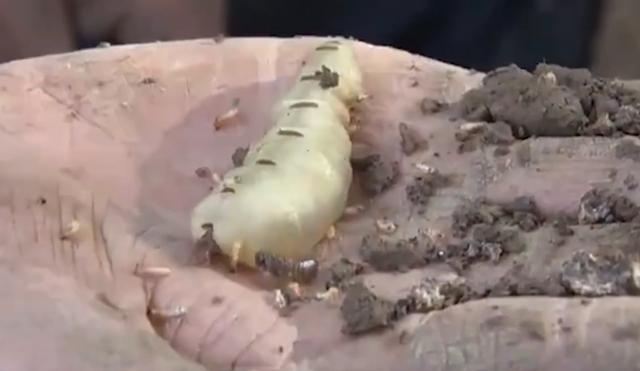 湖北发现超大蚁穴挖出超大蚁后 一看就起鸡皮疙瘩