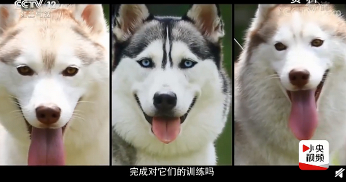 带犬民警5天把哈士奇训练成警犬 网友:隔着屏幕都感受到艰难