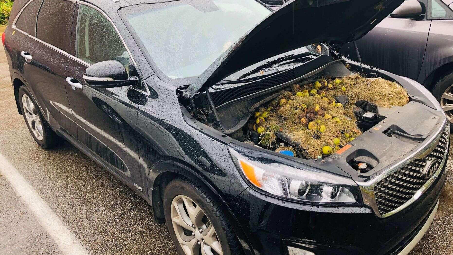 """松鼠的""""杰作"""":美國車主掀開引擎蓋發現幾百顆核桃"""