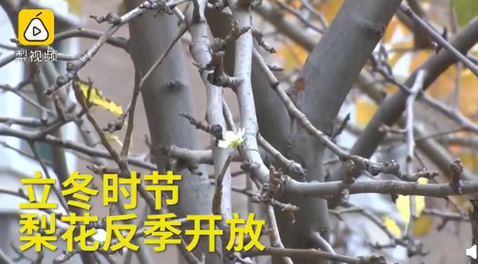东北梨树零下温度开花 网友神回复:梨花也被天气搞晕了!