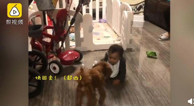"""牧娃犬?11个月大的宝宝爬出围栏被狗子吼回,婴儿评分,首次""""越狱""""秒怂"""
