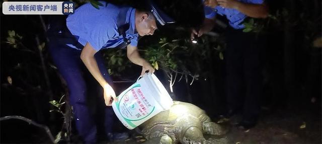 三亚红树林发现200斤患病巨龟 是国家一级保护动物