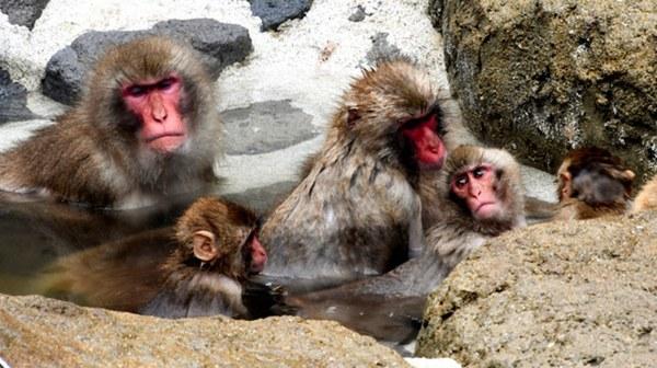 日本福冈动物园引入温泉水 猴子们享受冬日温泉