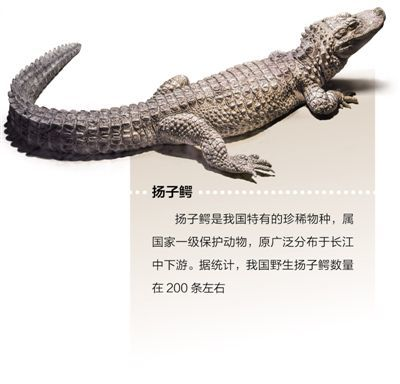制订江豚保护方案,开展扬子鳄野外放归 物种保护 为长江添活力
