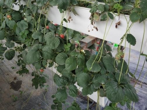 历城:积极推进草莓节园区建设 今年新增种植面积4000亩