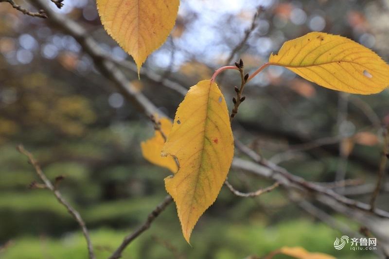 组图:金黄落叶铺满山师校园 学生上课仿佛穿越画中