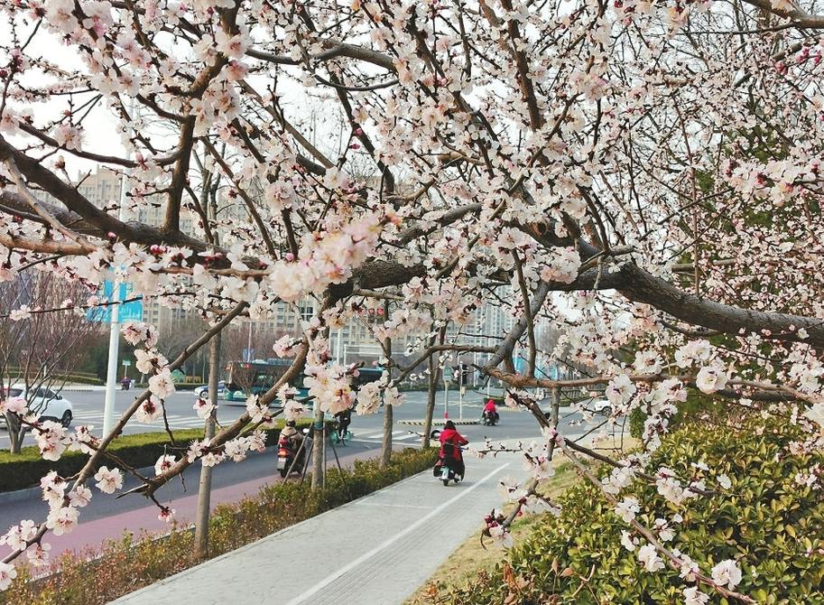 柳绿花开 春回泉城