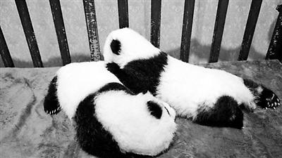 100万可为秦岭熊猫宝宝终身冠名