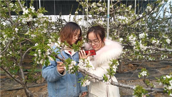 洪范大棚的樱桃花开了!朵朵樱桃花争相吐蕊
