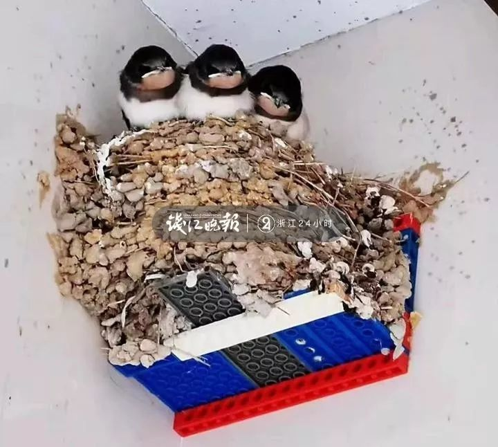 毛坯变精装!杭州一个燕子窝乐翻朋友圈 真相让人暖了