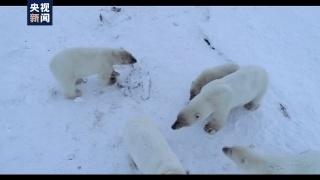 """北极熊""""组团""""造访 但这个画面却让人心疼……"""