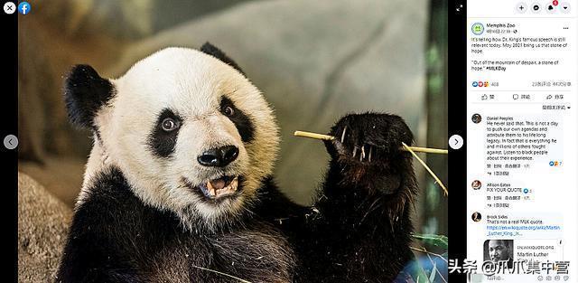 官方回應旅美大熊貓瘦骨嶙峋,居住環境惡劣,沒有新鮮竹子