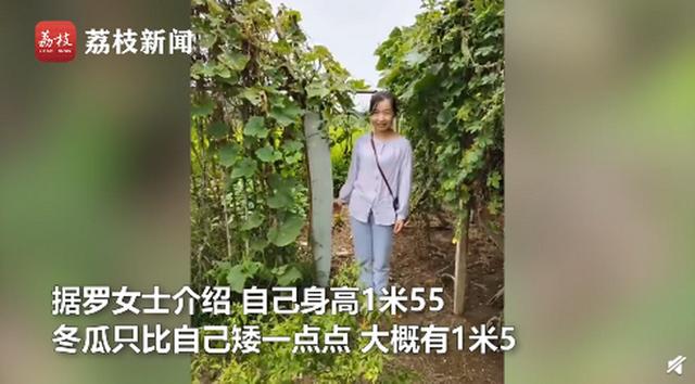农户种出1米5高冬瓜 网友:这得吃多长时间啊?