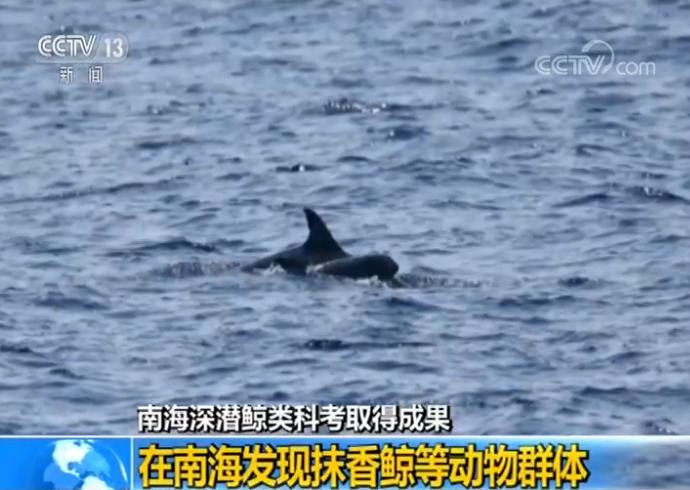南海深潜鲸类科考成果:在南海发现抹香鲸等动物群体